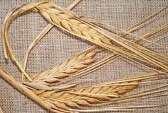 3 зрелых колоска пшеницы на увольнении Стоковая Фотография RF