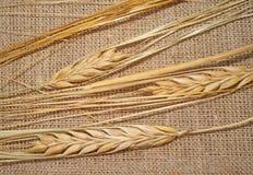 3 зрелых колоска пшеницы на увольнении Стоковая Фотография