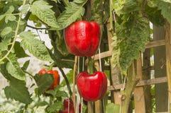 2 зрелых красных болгарского перца Стоковые Фотографии RF