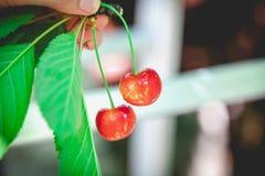 2 зрелых красных вишни на ветви с зелеными листьями Стоковая Фотография RF