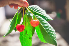 2 зрелых красных вишни на ветви с зелеными листьями Стоковые Фотографии RF