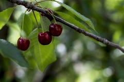 3 зрелых красных сладостных вишни на ветви, макрос Стоковые Фото