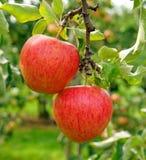 2 зрелых красных яблока на дереве Стоковое Изображение