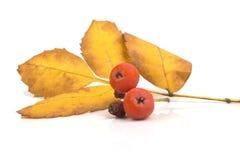 2 зрелых оранжевых ягоды золы горы с лист стоковая фотография rf