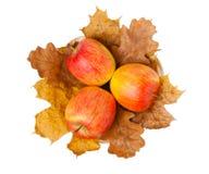 3 зрелых свежих красных яблока на клене Стоковое Изображение RF