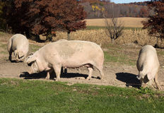 3 зрелых свиньи Стоковая Фотография