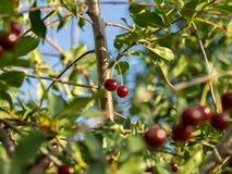 2 зрелых ягоды на ветви Вишня Стоковое Изображение
