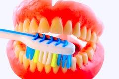 зубная щетка искусственних зубов Стоковая Фотография