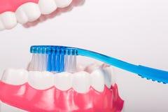 Зубная щетка и зубоврачебная модель Стоковая Фотография RF