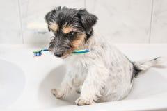 Зубная щетка удерживания собаки в bathroom - поднимите терьера домкратом Рассела стоковая фотография
