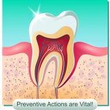 Зубоврачебная анатомия Стоковые Фото