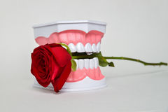 Зубоврачебная челюсть и розовый цветок, изображение торжества дня дантиста Стоковая Фотография RF