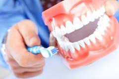 зубоврачебное модельное teethbrush Стоковые Фотографии RF
