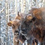 2 зубра в лесе березы зимы Стоковые Изображения RF