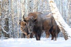 2 зубра в лесе березы зимы Стоковые Фото