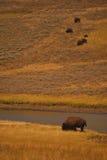 Зубробизон Йеллоустон стоковая фотография rf