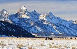 Зубробизон Teton Стоковая Фотография