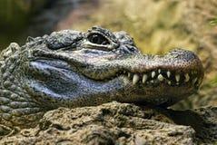 зубы детали крокодила спрятанные глазом semi Стоковое фото RF