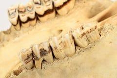 Зубы коровы Стоковое Изображение RF