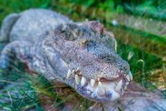 Зубы крокодила Стоковое Изображение