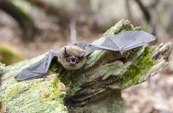 Зубы летучей мыши маленького Брайна и клыки, Georgia США стоковое фото rf