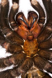 Зубы тарантула Стоковые Изображения RF