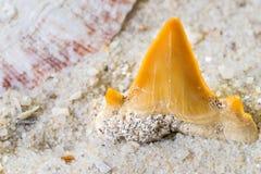 Зуб акулы Стоковые Фото