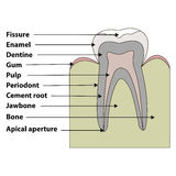 Зуб структуры иллюстрация вектора