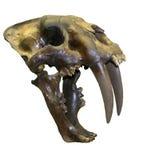 зуб тигра черепа saber Стоковые Изображения RF