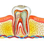 зуб Стоковые Фото