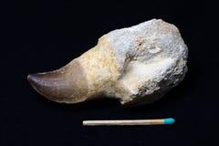 Зуб Mosasaurus стоковое фото
