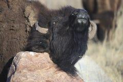 Зуд буйвола Стоковые Изображения RF