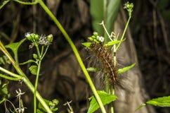 Зудящие гусеницы Стоковое Фото