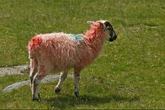 зюйдвест овец cornwall Англии красный Стоковая Фотография