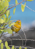Зяблик желтого warbler Галапагос Стоковая Фотография