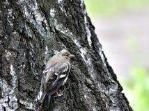 Зяблик птенеца сидит в хоботе березы Стоковые Фото