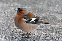 Зяблик птицы близкий смотрящ вас Стоковое Изображение