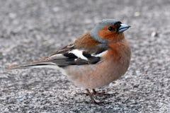 Зяблик птицы близкий смотрящ вас Стоковое фото RF