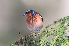 Зяблик воробьинообразной птицы поет на ветвях Стоковое фото RF