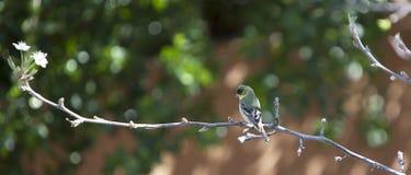 Зяблик на зацветая ветви дерева Стоковые Фотографии RF