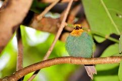 Зяблик попугая на ветви Стоковое Изображение