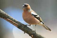 Зяблик птицы весны в парке на ветви и singi перескакивать Стоковая Фотография