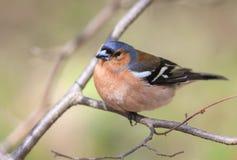 Зяблик птицы весны сидя на ветви в парке на солнечном Стоковые Изображения RF