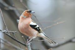 Зяблик птицы в парке на ветви Стоковое Фото
