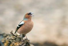 Зяблик птицы в парке на дереве и поет Стоковое Изображение RF
