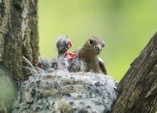 зяблик птицы подает свои голодные цыпленоки в гнезде Стоковые Фотографии RF