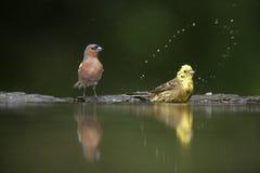Зяблик, coelebs Fringilla, Стоковая Фотография RF