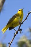 Зяблик Woodpecker - острова Галапагос стоковые изображения rf