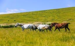 злаковик Иннер Монголиа Стоковые Изображения