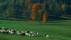 Злаковик пастырский Стоковые Фотографии RF